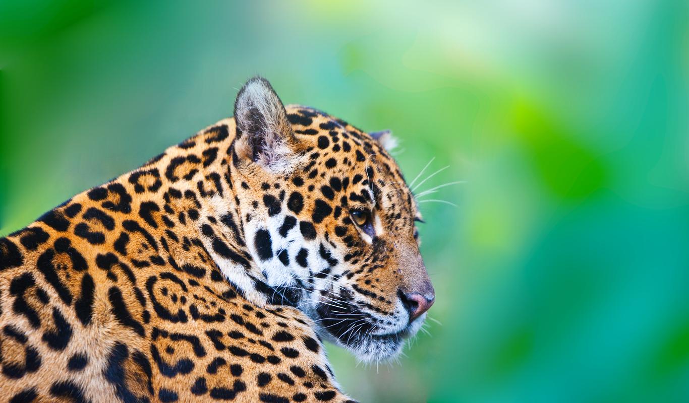 Jaguar >> Jaguar   Salvemos a un amigo